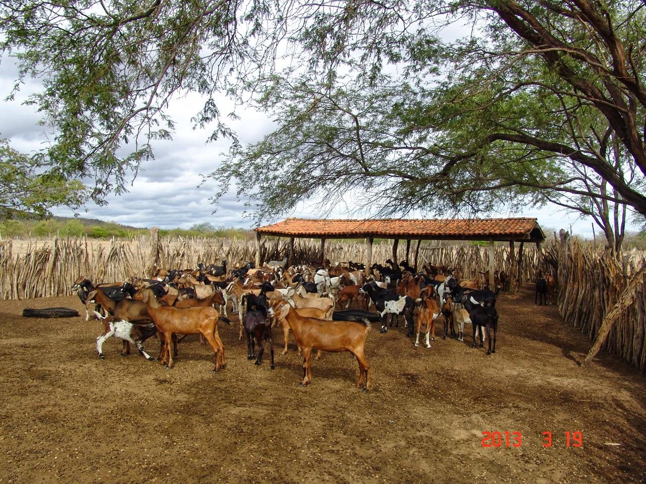 Um rebanho de caprinos na caatinga
