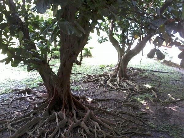 Pohon Gede di Dalam Bandara Soekarno-Hatta