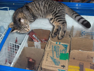grey tiger cat sleeping on grocery ice cream freezer