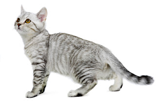 burmilla cat breed info pets animal domestic
