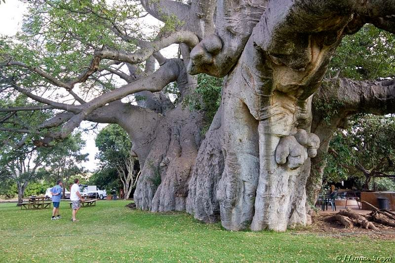Sunland Baobab and Pub A massive trunk.