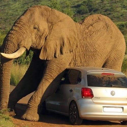 Nunca fique perto de um elefante com coceira