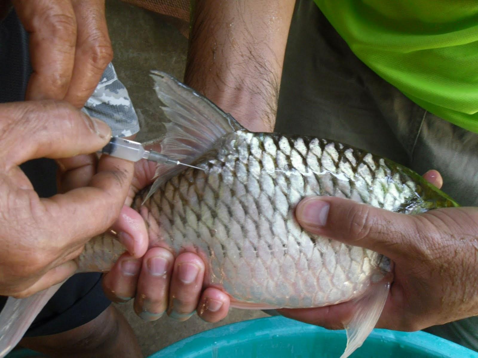 ปลาประจำศูนย์เรียนรู้เทศบาลตำบลเกาะแก้ว