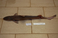 Blackspotted Smooth-Hound - Mustelus Punctulatus