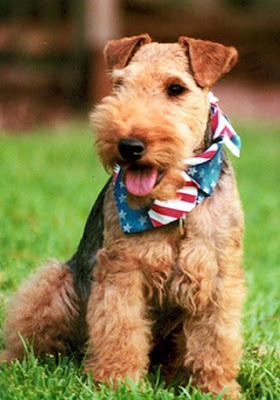 Welsh Terrier Puppies on Welsh Terrier Puppies Pictures