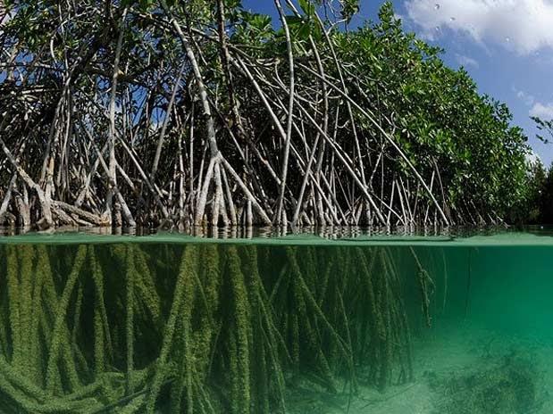 Tuypens aguaysociedad rbol del mangle for Arbol con raices y frutos