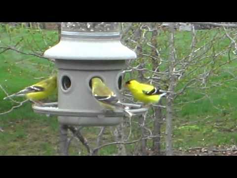 goldfinch,animalia,chordata,aves,passeriformes,bird,