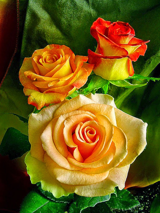 Ароматные сорта роз названия