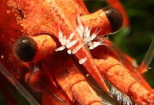 Neocaridina con gusanos Scutariella japonica