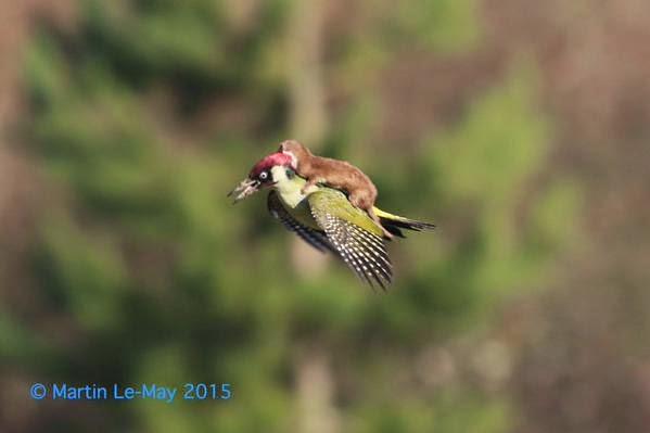 fotógrafa Martin Le-May imágenes de una comadreja intentado cazar a un Pito Real...