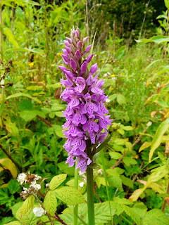 Sothern MarshXCommon Spotted Orchid, Childwall Woods and Fields