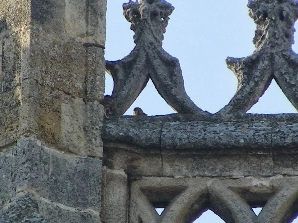 Cernícalos de la Catedral de Sevilla SEO-Sevilla