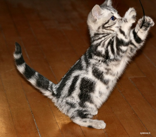 Photo adorable de chat American shorthair chaton