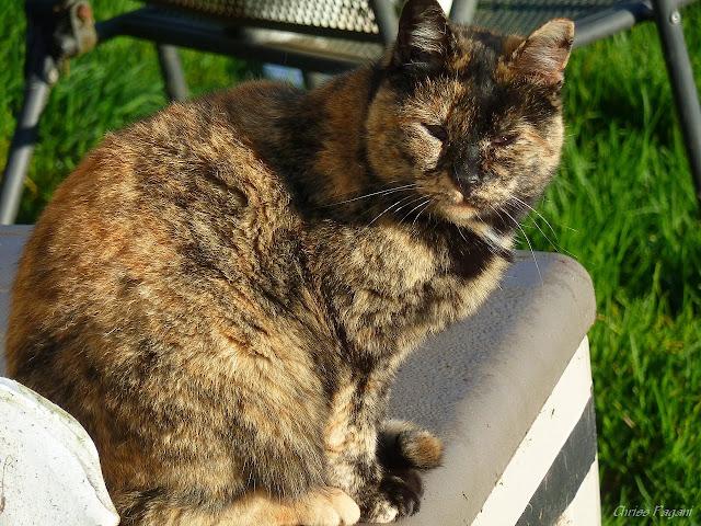 old tortie - tortoiseshell feral cat