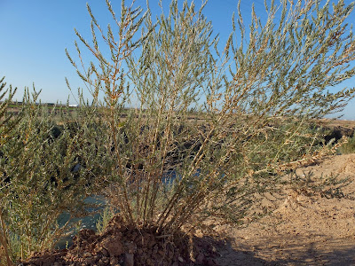 Arrowweed (Pluchea sericea) - Along Irrigation Ditches; Notice Straight Branc