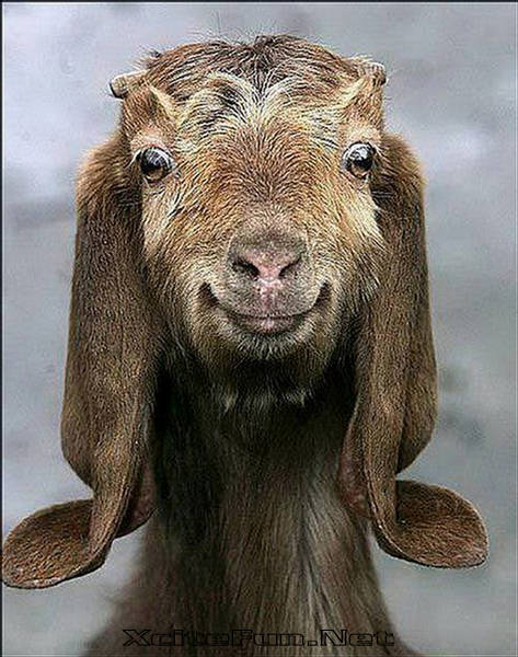 funny looking goat - photo #2