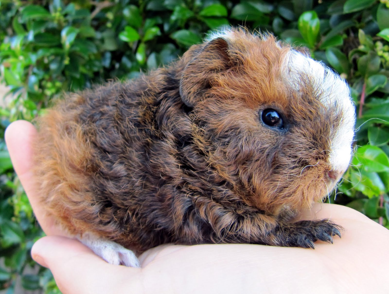 how to tell what breed your guinea pig is