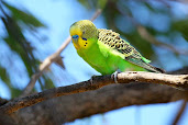 #2 Budgerigar Wallpaper