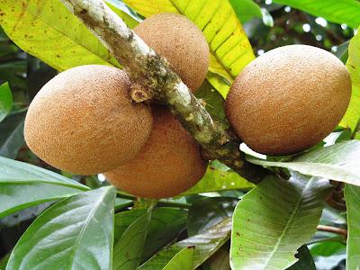 buah sawo
