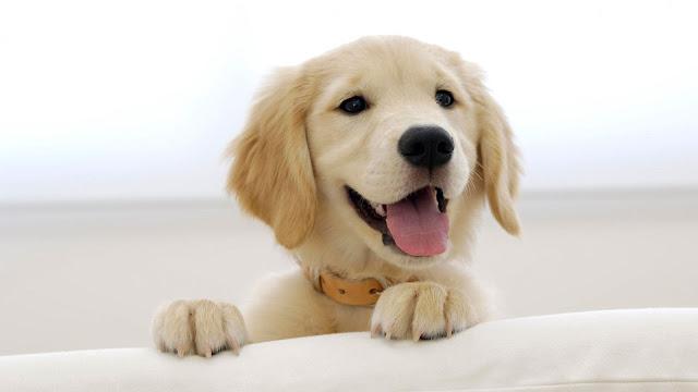 Smiling Cute Labrador Puppy Wallpaper