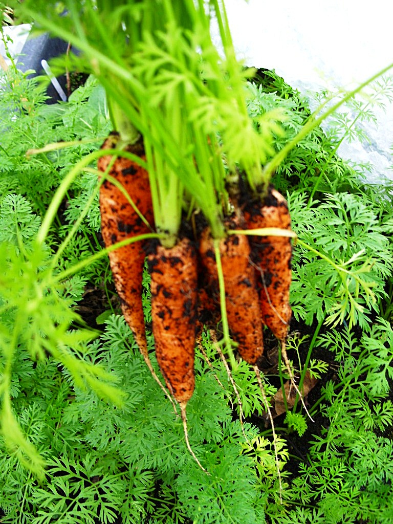Kelli 39 s northern ireland garden container carrots - How to grow carrots in containers ...