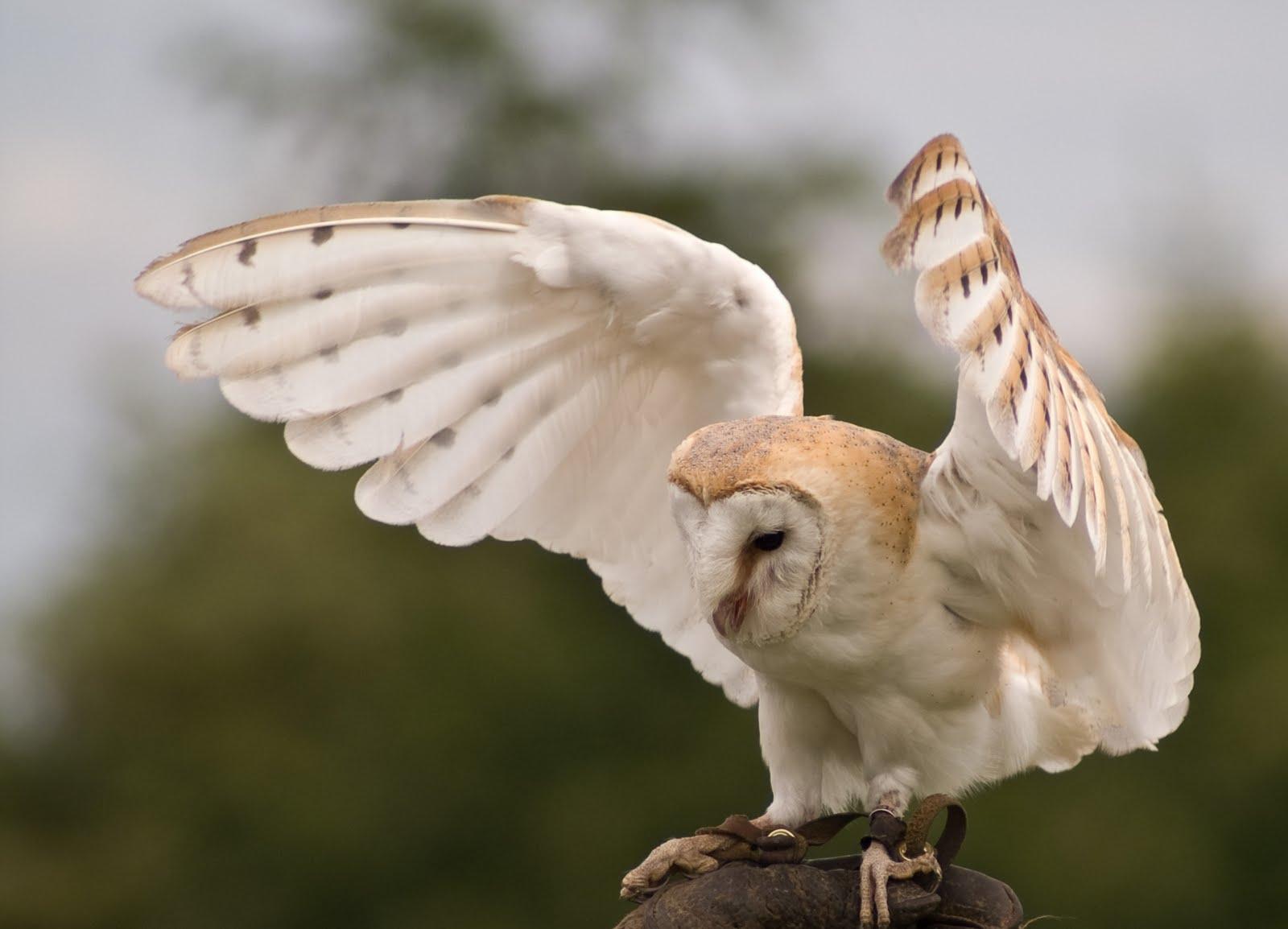 Barn Owl | Beauty Of Bird