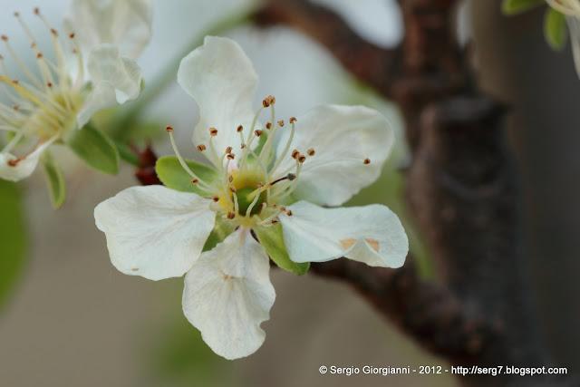 un fiore di prugna