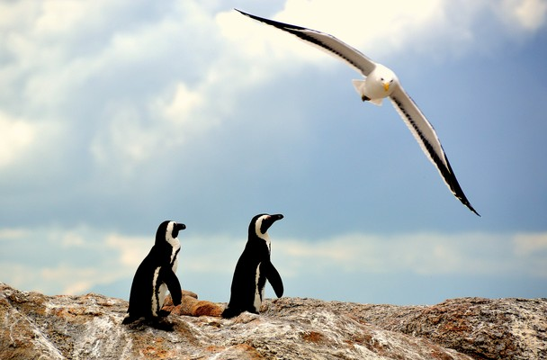 a study of the penguin a flightless bird Penguins are aquatic, flightless birds that are highly adapted to life in the water their distinct tuxedo-like appearance is called countershading, a form of camouflage that helps keep them safe in the water.