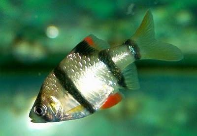 Aqua life green tiger barb for Big bear lake fish stocking schedule