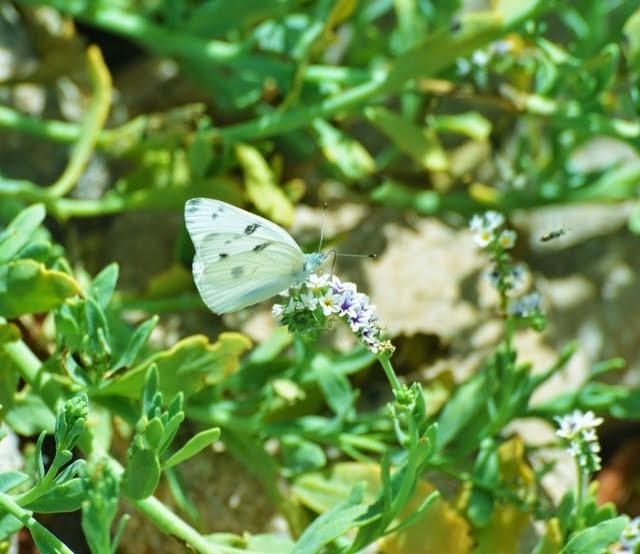 Checkered White Butterfly 9376