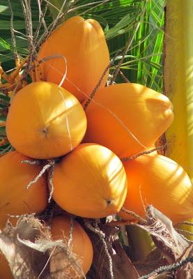 Gelbe Kokosnüsse auf den Seychellen