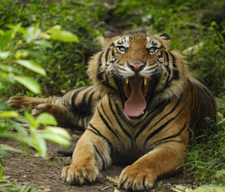 gambar harimau macan sumatera
