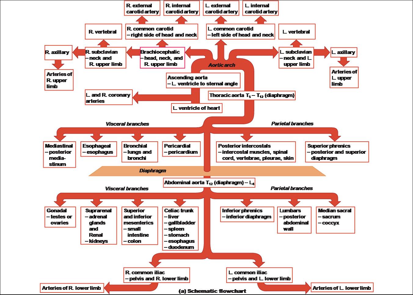 Aorta: Blood Supply Schematic
