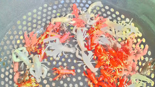 jual macam - macam jenis lobster hias untuk aquarium cantik dan indah