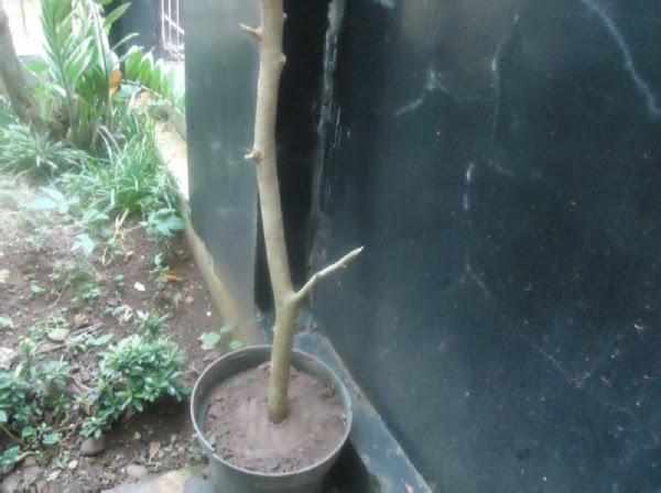 Tempatkan tanaman Serut ditempat yang teduh.