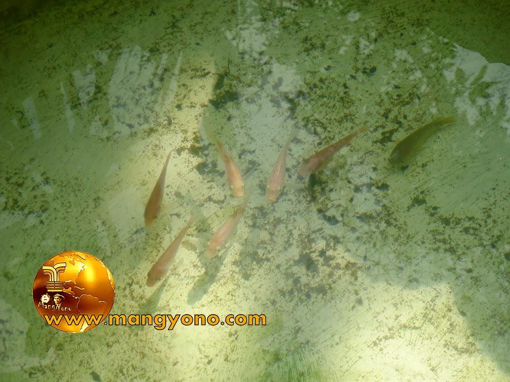 FOTO : Ikan Mas di kolam mungil depan rumah mang