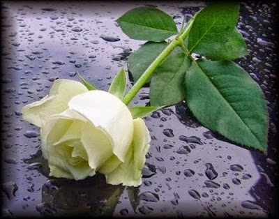 Rosa-Blanca