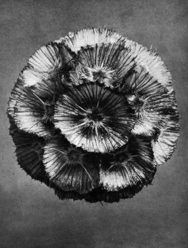 Scabiosa prolifera scabious