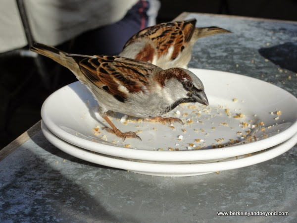 sparrows at Zinc Cafe in Cedros Design District in Solana Beach, California