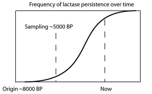 convergent adaptation of human lactase persistance
