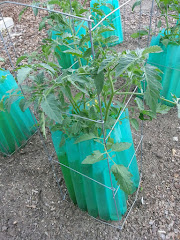 Tomatoes growing apace