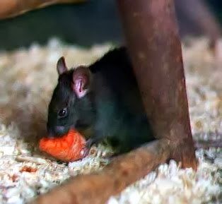 A pulga do rato preto disseminava a peste bubônica
