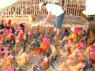 Nông dân Việt Nam đang phải nuôi heo gà bằng ngoại tệ. Ảnh: VĂN PHÚC