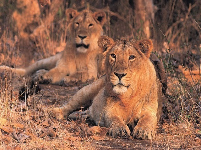 A pair of Asiatic lions at Sasan Gir National Park