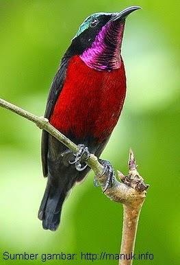 Mengenal Keunikan Burung Kolibri