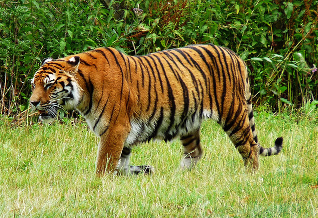 essay tiger our national animal Tiger essay 4 (250 words) tiger is a wild animal which has been declared as the national animal of india by the indian government it is considered as the cruelest wild animal to which everyone has fear of it is a very strong animal which can jump to the long distance it looks very calm however very clever and can.