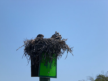 Osprey nesting season is now