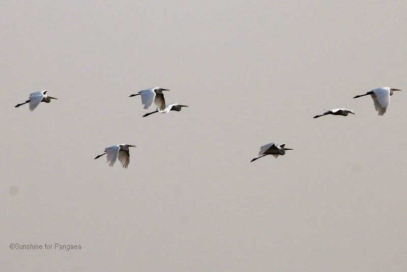 Flying Great Egrets