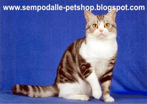 Pengetahuan Tentang Kucing Cat Pola Warna Quot Tabby Quot Pada