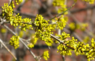 yellow spring cornellian cherry flower buds by garden muses: a Toronto gardening blog